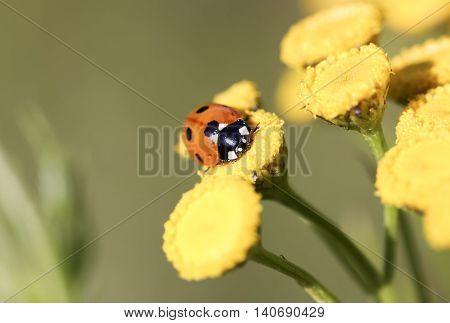 Ladybug on a Yellow Flower close up.