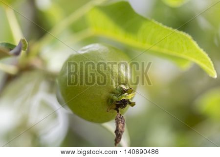 An Ussurian Pear Close Up macro image.