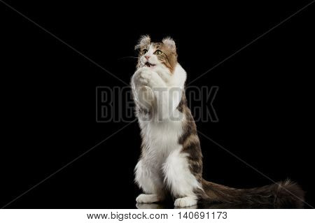 Funny American Curl Cat Breed with twisted Ears, Standing on Hind legs and catching his paws like pray in front of Black Isolated background