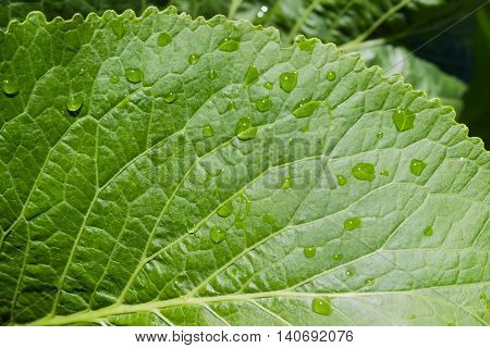 Background of a part of horseradish leaf with drops of a water closeup