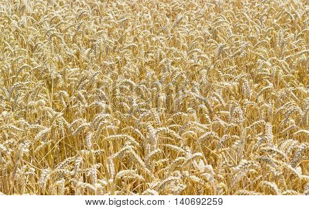Background of ripe wheat spikes on a field in summer day