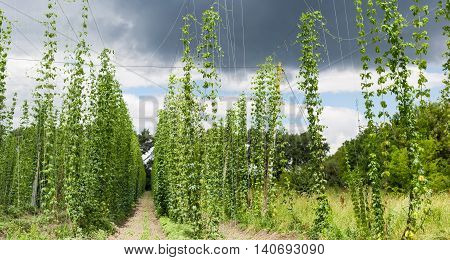 Growing hop in a hop yard on the background of sky with thunder clouds