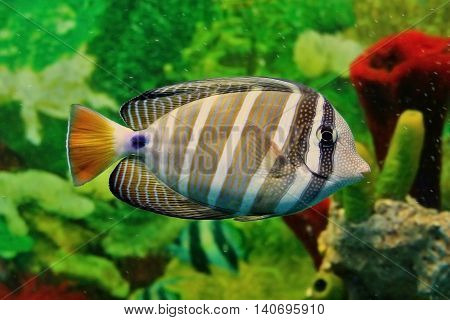 Striped marine fish with grey and white vertical lines yellow tail and blue point at base of tail. Sea saltwater aquarium. Shallow depth of field