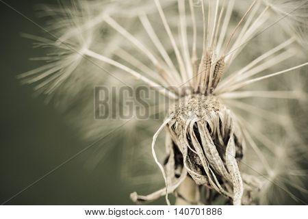Dandelion with seeds close up shot sepia vintage color.