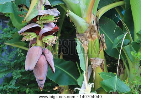 Bunch fruit of bananas not yet ripe on tree in the garden and have banana blossom.