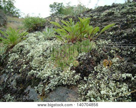 Sempervivum grows on the rocks of moss and lichen