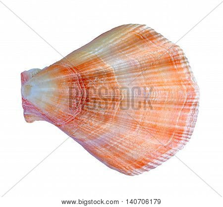 Shell close up. Marine molluscs on a white background