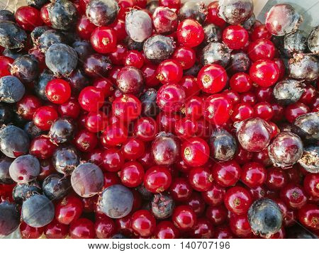 Currants and blueberries background. Fruit picking. Healthy food theme. Seasonal natural scene.