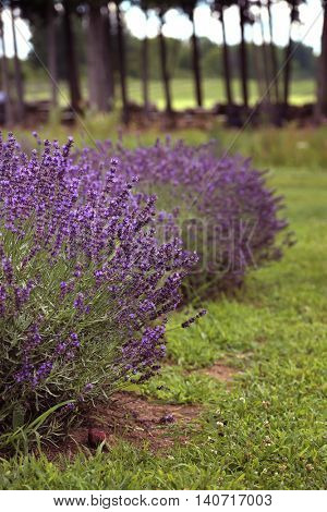 Lavender ready to pick up in a field