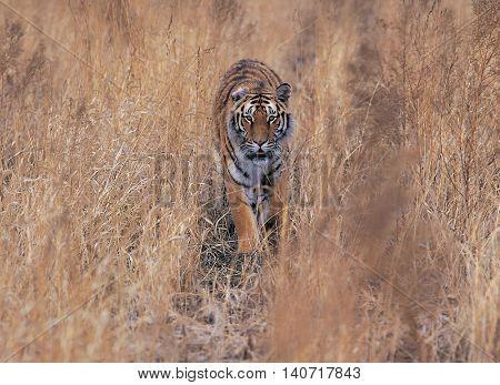 Tiger walking in the bush