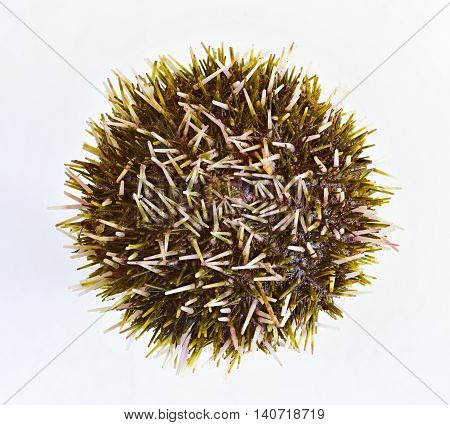 sea urchin. Multi-colored sea mollusk close up