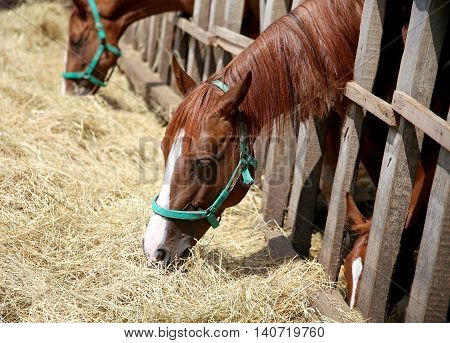 Purebred young mares and foals eating dry hay at horse ranch rural scene