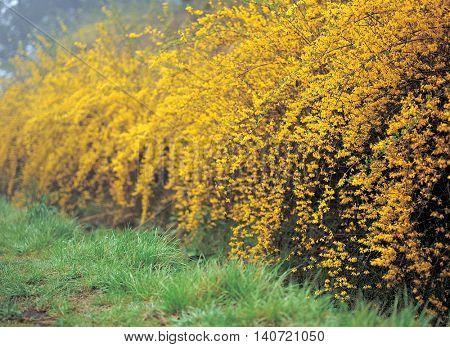 Beautiful yellow forsythia Park
