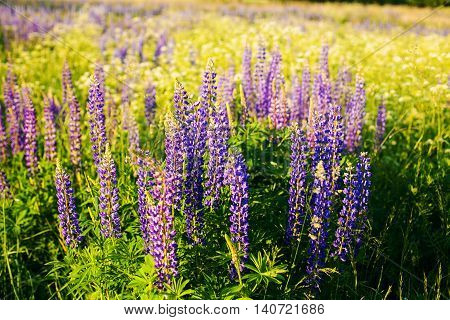 Lupines in a field in the sunlight Красивые цветы (люпины) в поле