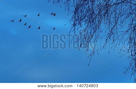 Autumn migration of cranes panoramic view image