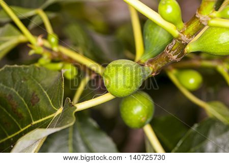 fruits of the fig tree, green leafs