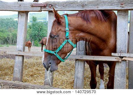 Purebred gidran horse eating grass behind old wooden fence