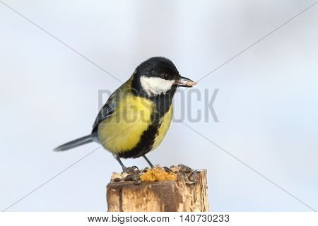 great tit eating sunflower seed on wood stump ( Parus major )