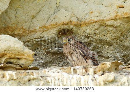 young common kestrel near the nest ( Falco tinnunculus )