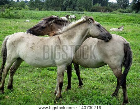 Konik horses mutually grooming and scratching each other