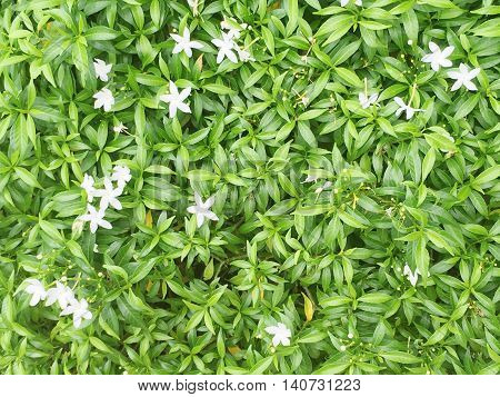 Closeup green leaves of plant in the garden with small white flower texture background