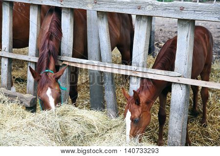 Hungarian gidran horses eating hay in the stable