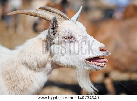 Close-up view of an old bleating goat.