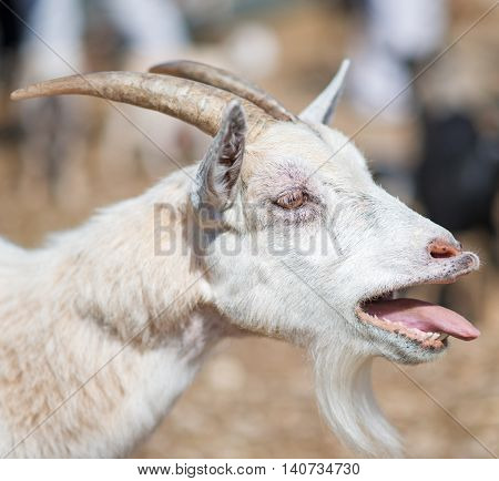 Close-up view of old white bleating goat.