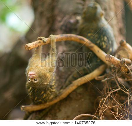 Pygmy marmoset fooling around the tree. Closeup view