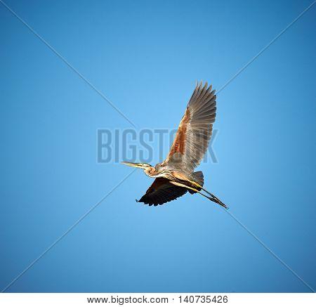 Red Heron Gliding