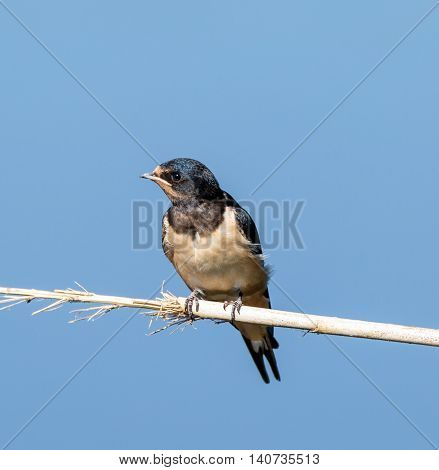 Swallow Bird Perched