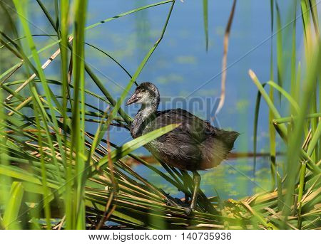 Juvenile Eurasian Coot Near The Nest