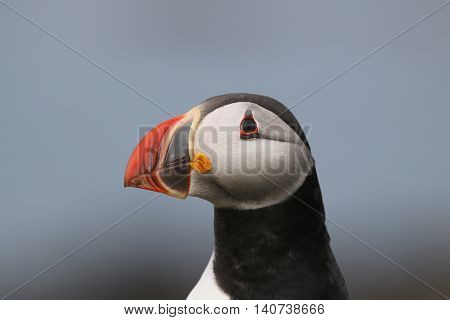 This is a portrait of a Puffin (Fratercula arctica), with it's head turned to it's right side, showing a profile. This bird has a very distinctive, colourful bill, which is featured in this photograph. The picture was taken in the month of May, On the Isl