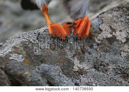 This is a close up shot of a Puffin's feet (Fratercula arctica) perched on a rock. These sea birds have distinctive orange, webbed feet. This picture was taken in May, on The Isle of Lunga, which is off The West Coast of Scotland