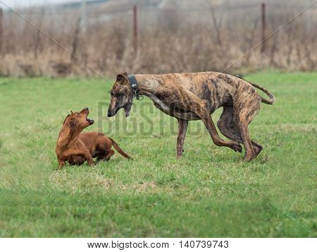 Dachshund In A Game With Greyhound In A Meadow