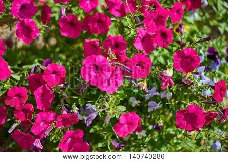 Image full of colourful petunia flowers. Petunia hybrida