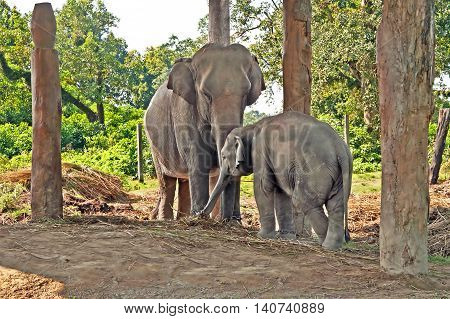 Elephant mother and baby in the breeding centre, Chitwan National Park, Nepal