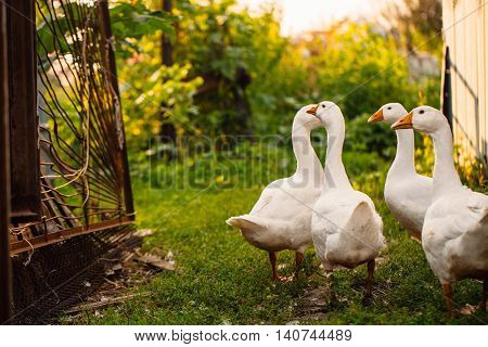 Geese In A Village Walk On The Lawn