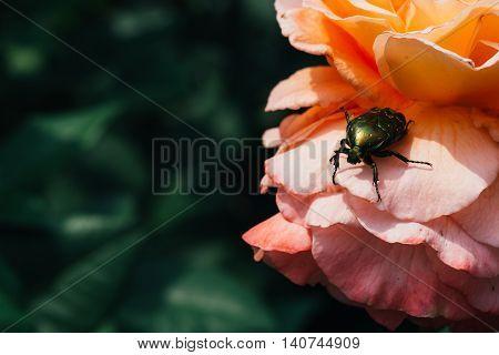 Golden Chafer On Pink Rose Leaves Background