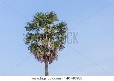 Sugar palm tree with green leaves and blue sky in sunshine day.