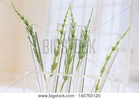 Medicinal plant Equisetum arvense Horsetail in test tubes