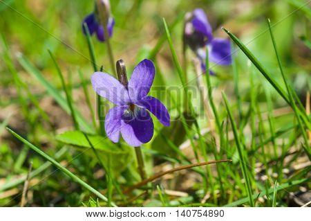 Wild viola flowers among spring grass .