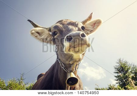 Funny portrait of a cow with a bell around his neck