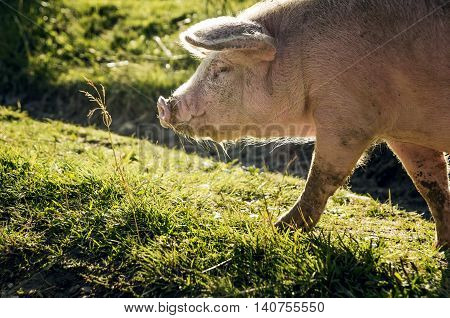 A large pink pig in search of food on a green meadow.