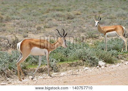 Antelopes Springbok, Etosha, Namibia
