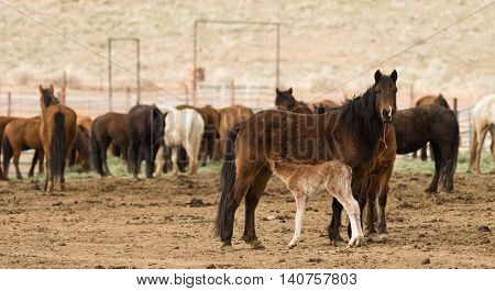 Young pony looks to Mom for some nutrition on site in Oregon near Burns