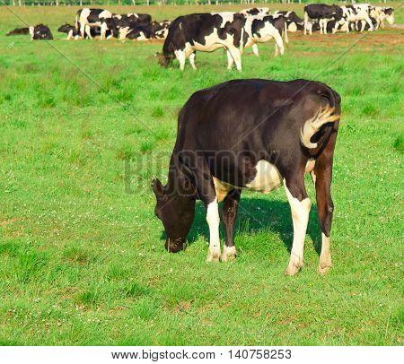 Animals Village Cows