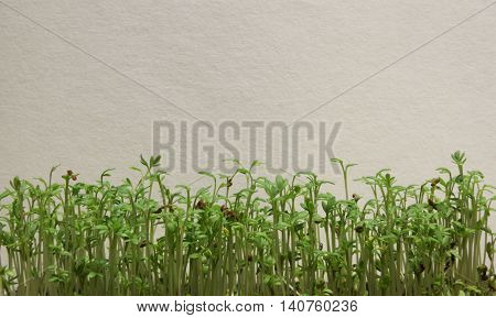 Young cress set against a white wall.