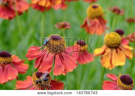 Green bottle fly Lucia sericaca explores beautiful helenium flowers while bee collects pollen