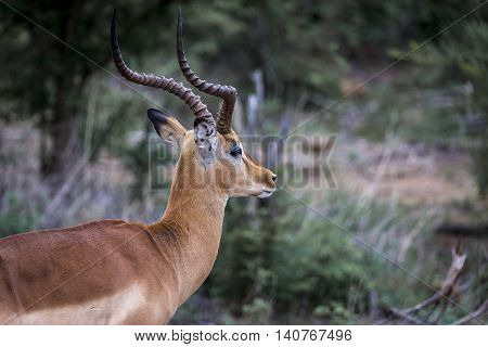 looking male impala in south africa, wildlife photography